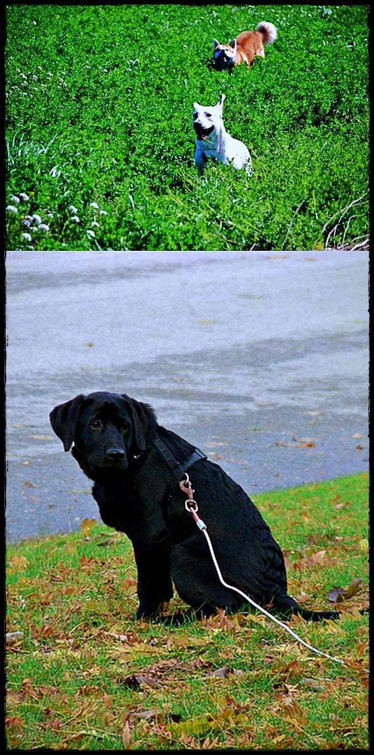 Labrador Hashtags Get It Now Labradorinneed Labradorbreeders Labradorrescuecliftonnottingham Dog Breeds Retriever Dog Labrador Retriever