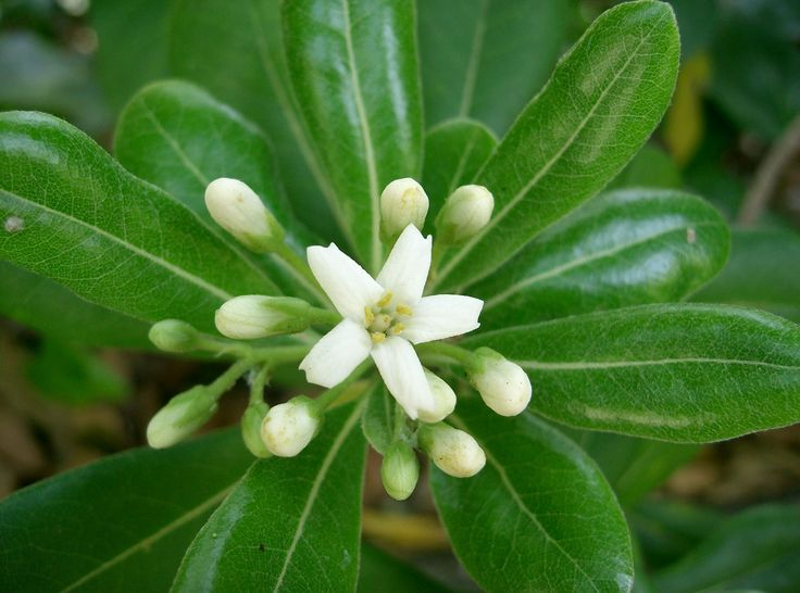pittospore : persistant, parfum de fleurs d'oranger