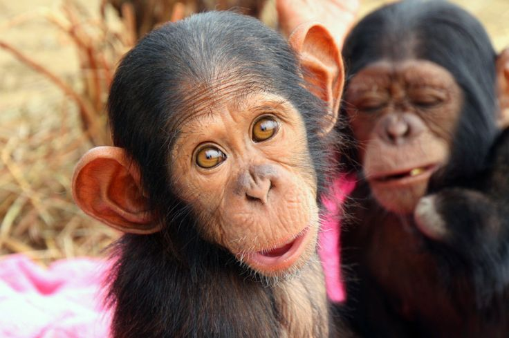 Help Feed over 150 Orphaned Chimpanzees by Jane Goodall Institute > https://www.globalgiving.org/projects/help-feed-over-150-orphaned-chimpanzees/