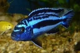 Melanochromis johannii Electric Blue Cichlid MLive Tropical Aquarium Fish at Aquarist Classifieds