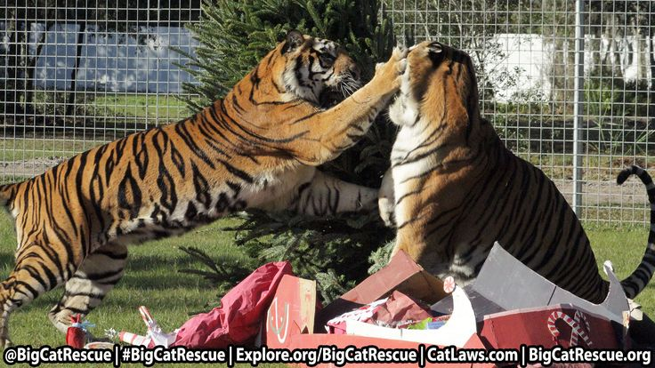 Thurs Dec 17 at 10 am EST watch live as the Texas Tigers to rip apart Christmas Goodies.   http://Explore.org/BigCatRescue