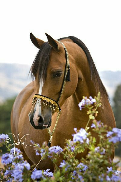 MOST BEAUTIFUL ARABIAN EVER, peeking behind purple flowers.