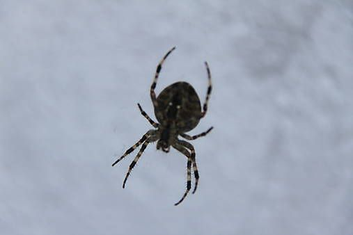 Danielafoto / Pavúk