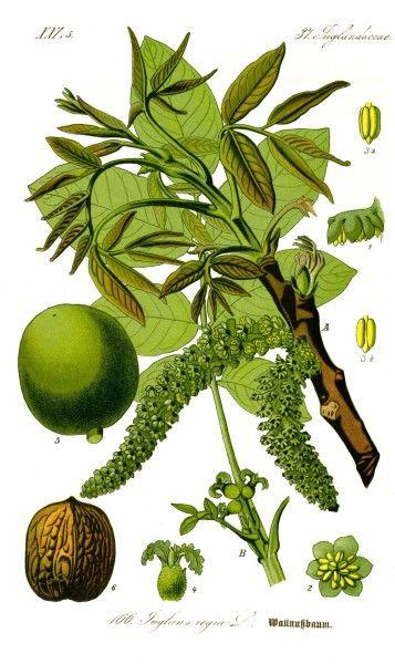 Der Walnussbaum gibt nicht nur schmackhafte und nährstoffreiche Früchte. Er hat aber viel mehr zu bieten und kann bei vielen Krankheiten helfen.