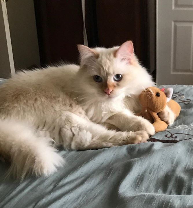 My cat has a stuffed kitten toy that he treats like his baby and grooms.
