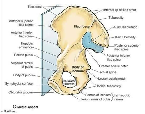 Image result for ilium pubis bone anatomy labelled