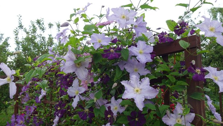 clematis Blekitny aniol (Blue Angel), Etoile Violette, Solina