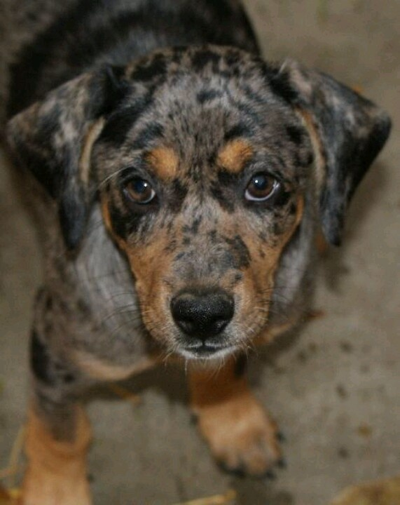 Blue Doxy- dachshund blue heeler mix. So cute! | Dogs and Puppies ...