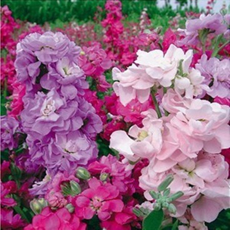 500pcs Mix color Violet Flower Seed Perennials courtyard Garden potted Plants Violet Flowers garden decoration