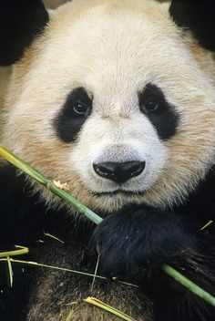 Giant panda - Explore the World with Travel Nerd Nici, one Country at a Time. http://TravelNerdNici.com