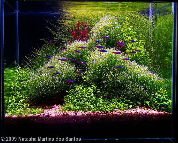 Plants Riccia Fluitans, Eleocharis Minima, Eleocharis VivÃpara,  Micranthemum Umbrosum, E Ludwigia Arcuata