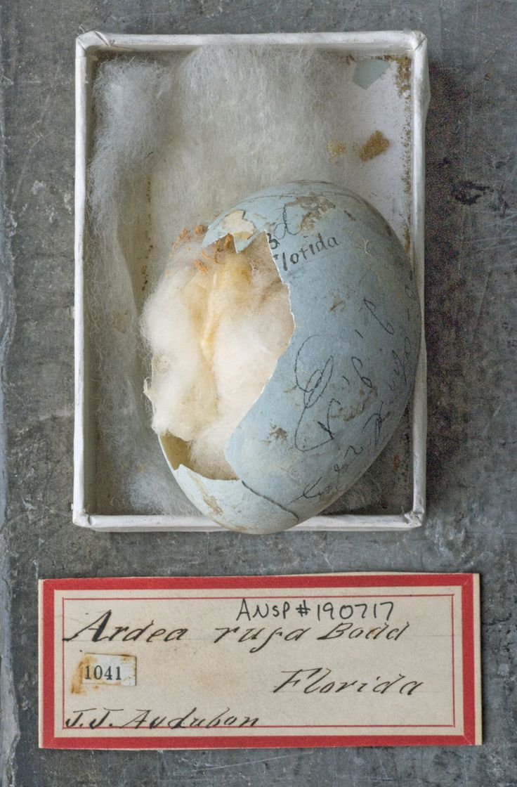 Bird egg collected by Audubon, Philadelphia Academy of Sciences, photo Rosamond Purcell