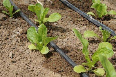 planting lettuce, lactuca sativa, drip irrigation.