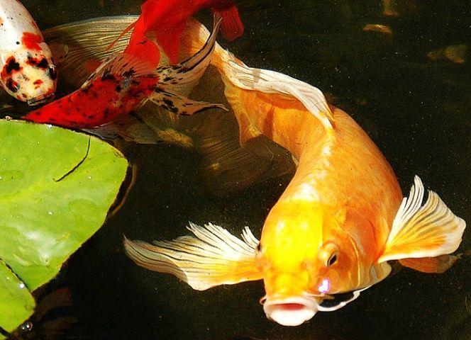 Golden koi photograph at go fish for Beautiful koi fish