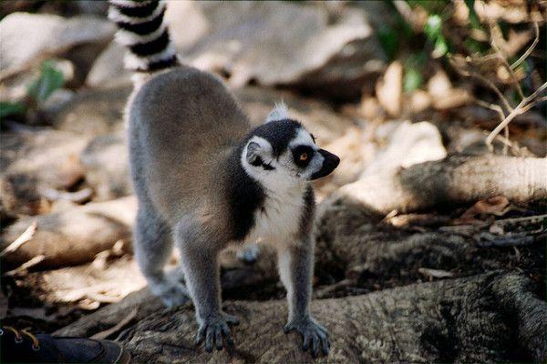 """Interesting Facts About Madagascar: Lemur """"Catta"""" du coté d'Andringintra"""