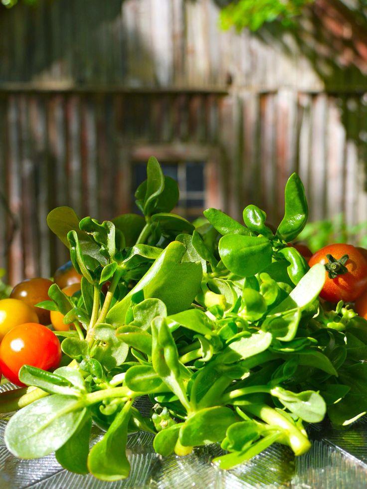 Portulak, der vergessene Salat! #portulak #wildkräuter