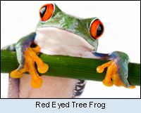 Red Eyed Tree Frog, hang in there lil guy! :)