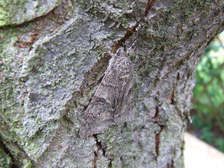 Spectacular baum Falter Fliegen Garten Insekt Mimese mimikry Motte