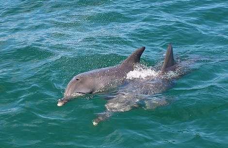 Dolphins in Mandurah