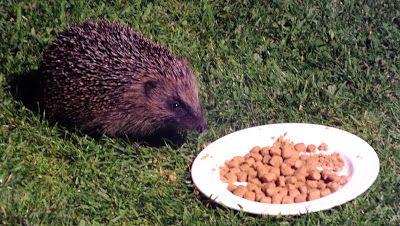 Hedgehog Watch Dublin: Hedgehog Watch 7 June 2015