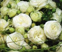"""rosier """"artemis"""" Fil Roses - Le Temps des Roses : roses anciennes et rosiers anglais"""