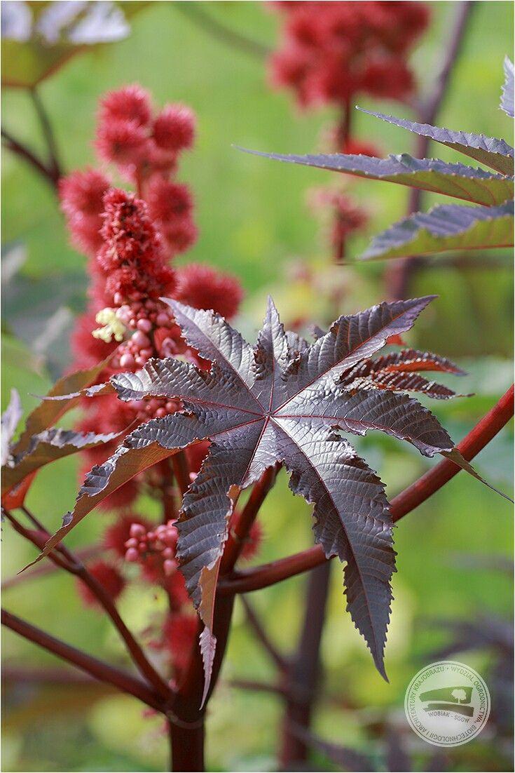 #Rącznik pospolity #Ricinus communis #wilczomleczowate #roślinalecznicza #surowieczielarski #nasiona rącznika #SemenRicini #olej rycynowy #Oleum Ricini działa #przeczyszczająco #laxativum #WOBiAK #SGGW 🍁 🚾 #castorbean or #castoroilplant #Ricinuscommunis #Euphorbiaceae #medicinalplant #rawmaterial #seed #coldpressed #castorOil #OleumRicini is #laxative #WULS