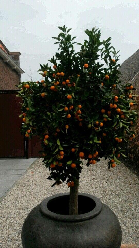 Oranges for King Willem of Orange.  King of the Netherlands