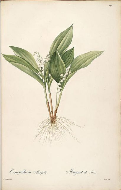 Lily of the Valley Botanical Print