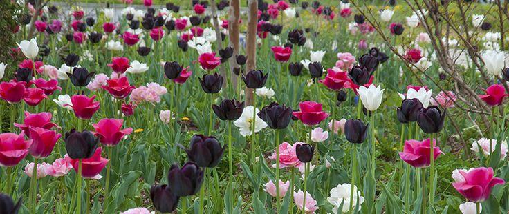 Tulip Bulbs | Boutonniere | Tulip Bulbs for Sale |