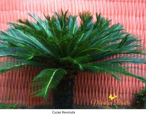 La Palma Cyca o Palma Sagú la podemos ver en muchos lugares de nuestro país. Es muy antigua y aparenta ser una palmera, pero no lo es. Está clasificada entre helecho y palma.
