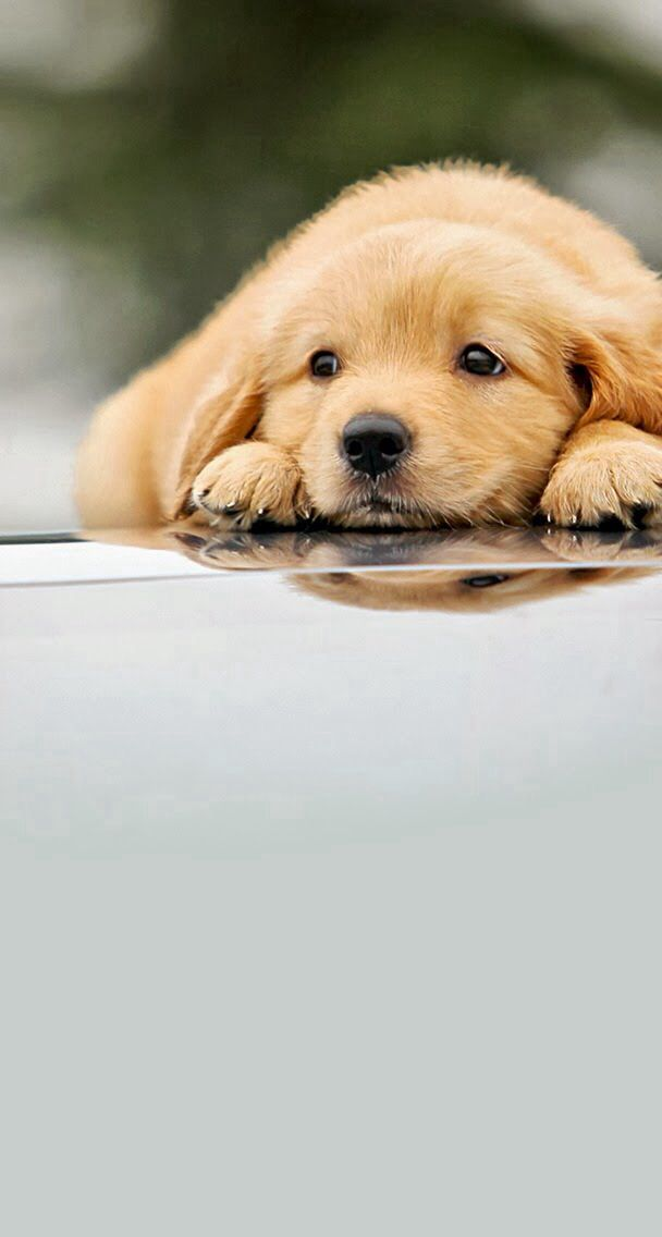 Lab Puppies Adorable In Water With His Hers Reflections Puppies