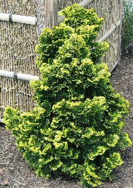 Verdoni Gold Hinoki Cypress - Extremely low maintenance specimen plant, this true dwarf conifer adds contrasting texture and color to the landscape. Also an excellent foundation or rock garden plant. Extremely slow growing (3-6 per year). A dependable yellow variety, the foliage of `Verdoni does not burn in full sun. Muschelzypresse