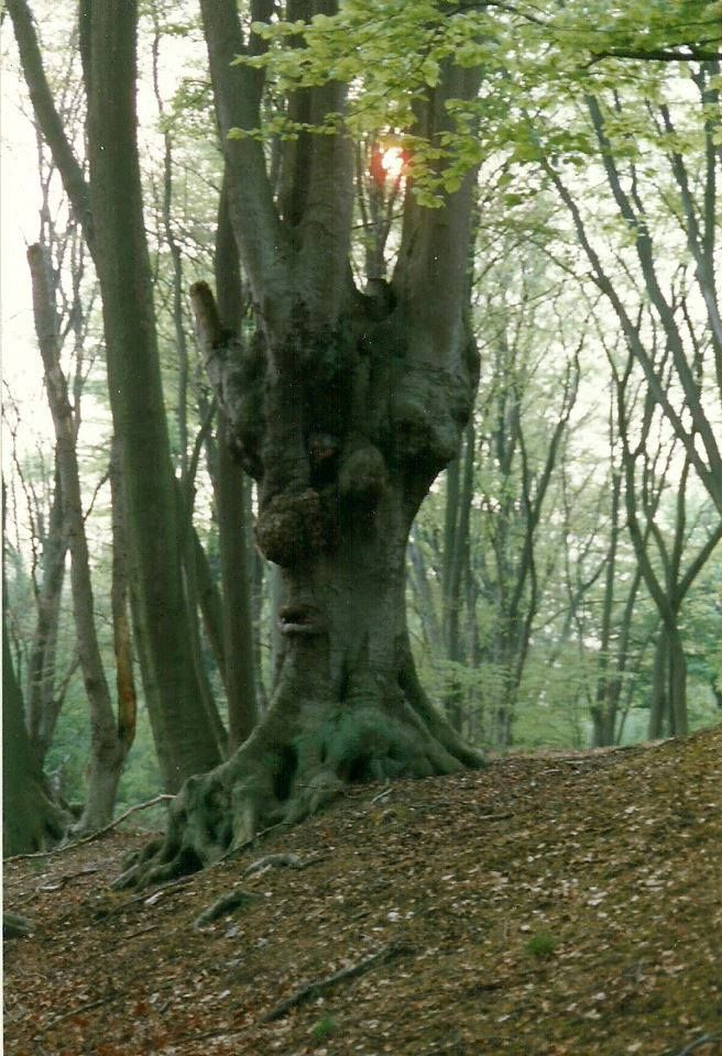 This tree is on the embankment of the camp of Queen Boudica/Boudicca, head of the Iceni tribe. This camp is in Epping Forest, this iswhere she launched her raids on Roman London in 60 AD. She burnt London to the ground, as well as Colchester and St Albans.