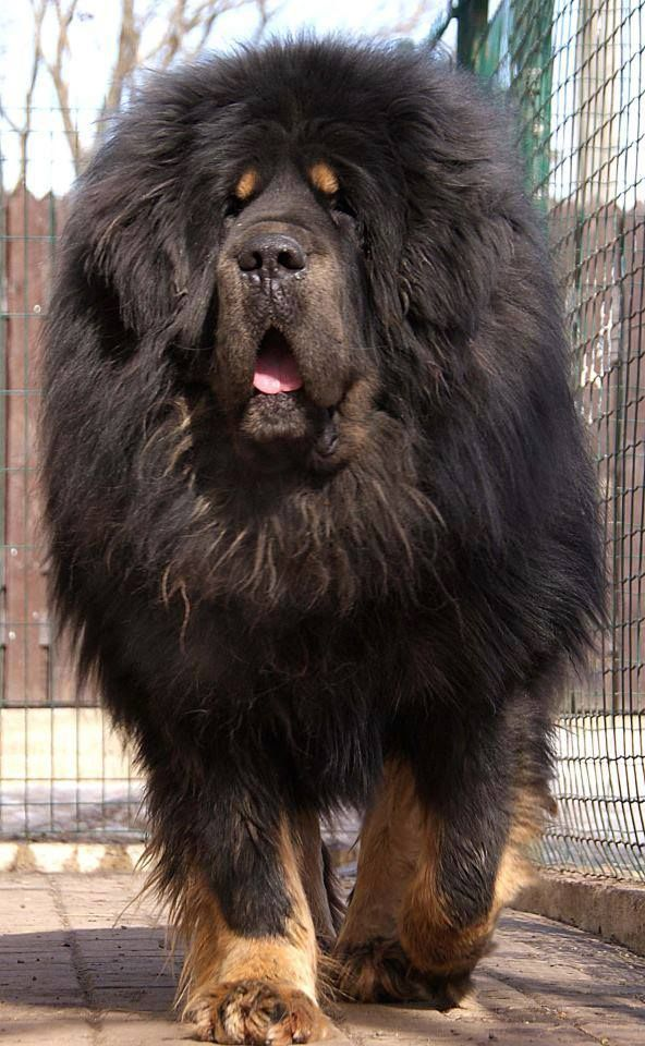 20 Largest Dog Breeds http://top10dogpictures.com/20-largest-dog-breeds.html Tibetan Mastiff