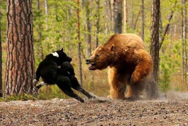 Karelian Bear Dog | pinteresting. | Pinterest