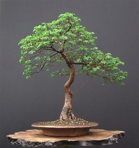 learn how to grow bonsai trees