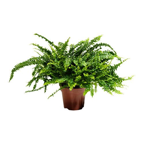 NEPHROLEPIS Potted plant IKEA €7