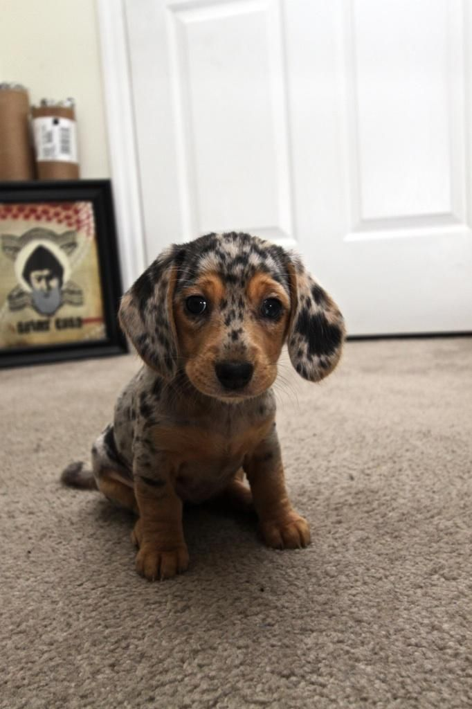 Spotty!: Weenie Dogs, Cutest Dogs, Dachshund Puppies, So Cute, Pet, Dapple Dachshund, Cutest Puppies, Wiener Dogs, Animal