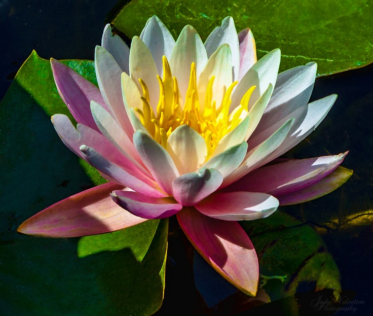 Marvelous Waterlily