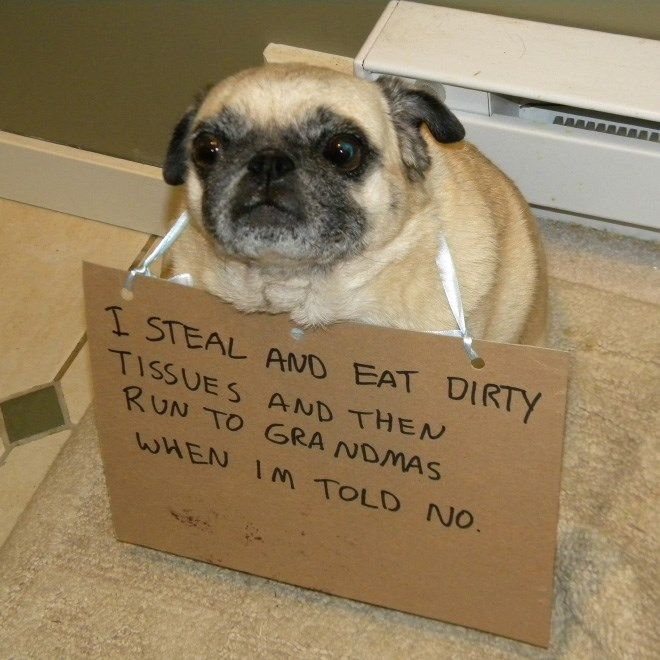 Sorry Not Sorry Guilty Pugs Being Shamed For Their Naughty