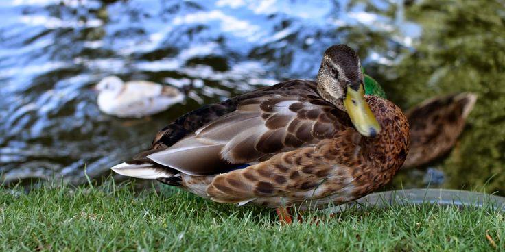 FLÆSK ELLER FJER TIL JUL? - Duck, goose or pig for christmas?