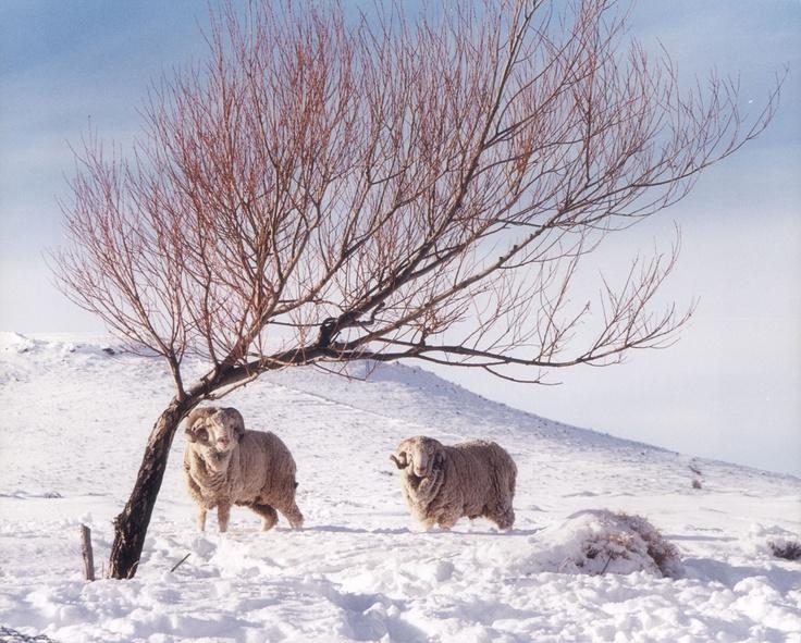 Carneros entre las nieves del norte, estepas frías.