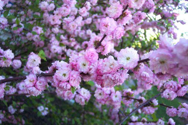 Prunus glandulosa, Mandelkirsebær, Rosaceae Rosefamilien, SNITT/LIGNOSE