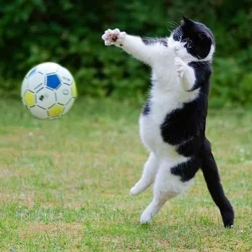 chat football gardien de but