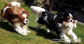 Imagen de dos perros Cavalier King Charles Spaniel corriendo por el césped. Perros juguetones y divertidos. Fotos de perros de raza pequeña (Image of two Cavalier King Charles Spaniel dogs running across the lawn. Playful and funny dogs. Pictures of small breed dogs).