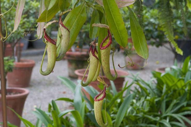 These plants are popularly known as tropical pitcher plants, or monkey cups. They grow naturally in the tropical regions of Asia, predominantly Thailand, Malaysia, Philippines, Indonesia, Singapore, and New Guinea.: Farm, Diy Plants, Tropical Regions, Pitcher Plants, Monkey Cups, Asia, Martha Stewart, Tropical Pitcher