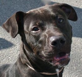 Holly is an adoptable dog at the Yonkers Animal Shelter in Yonkers, NY. Friendly dog who loves to play and is a joy to have around!