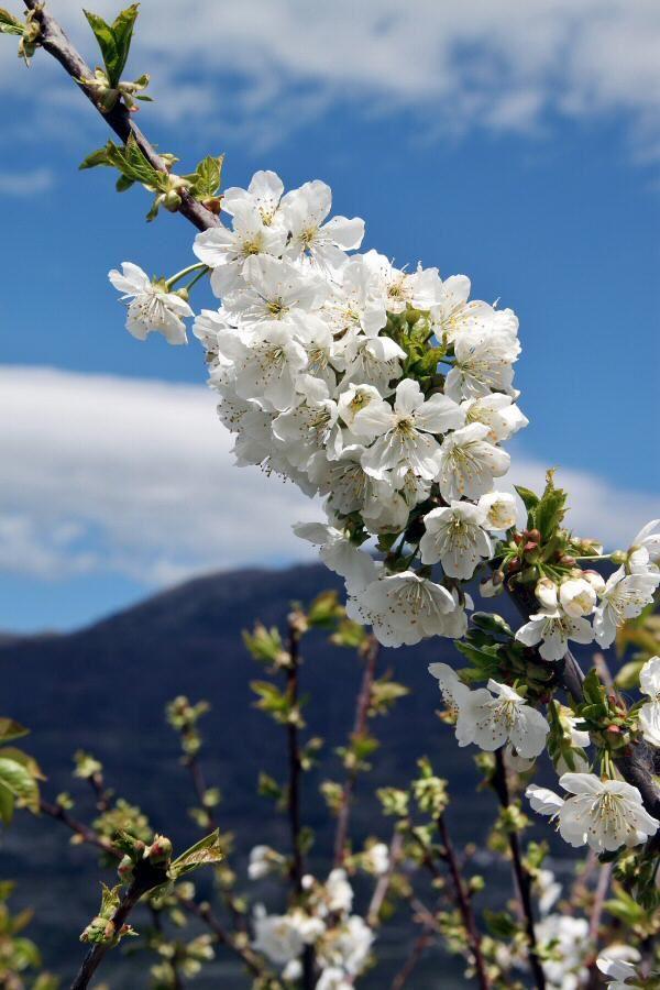 http://guias-viajar.com/ Fotos  de los cerezos en flor en el Valle del Jerte en Extremadura
