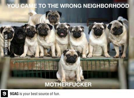 Funny, because a pug would be more apt to lick an intruder to death.