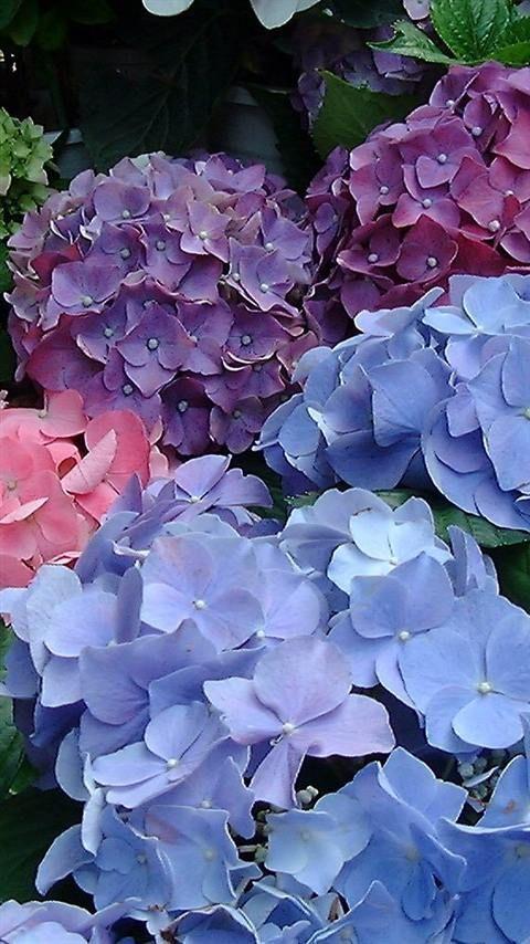 Rosas Hermosas, Flores Bellas, Plantas, Jardinería, Pinturas, Lilas Violetas Hortensias, Rosas Flores Jardines, Hortensias De Colores, Hortensias Felices